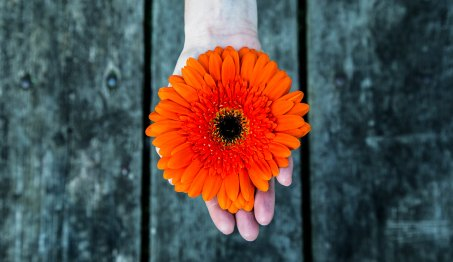 orange gerber daisy in hand