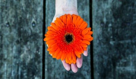 orange gerber daisy in hand